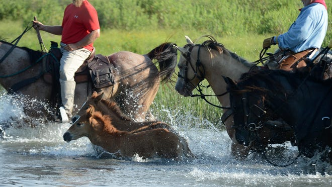 Saltwater Cowboys lead pony foals across a small saltwater stream to the corral on Assateague Island during the 2014 swim.