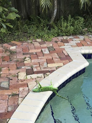 An iguana that froze lies near a pool after falling from a tree in Boca Raton, Fla.