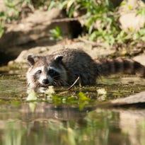 Critter of the week: Raccoon
