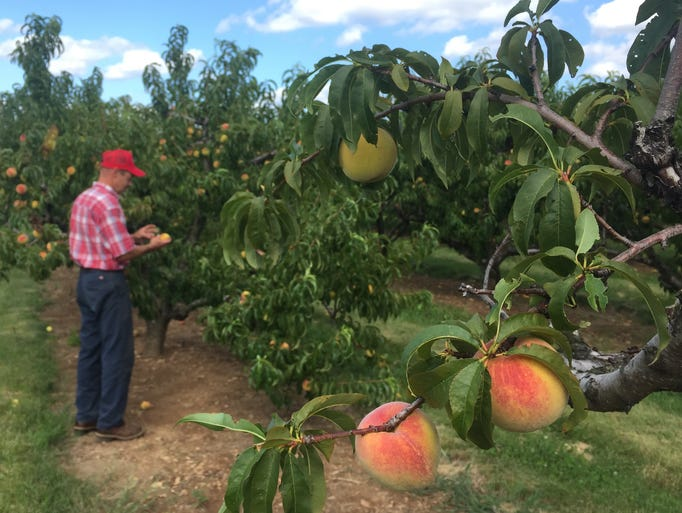 Barron Shaw picks peaches at Shaw Orchards, located