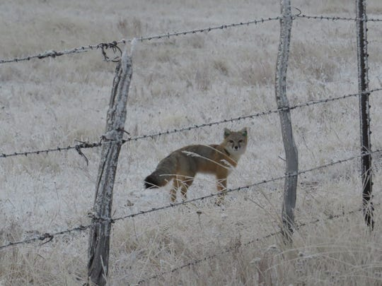 A swift fox is pictured with a radio collar. FWP has