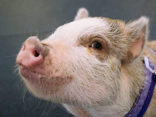 AP AGILITY PIG A USA WA
