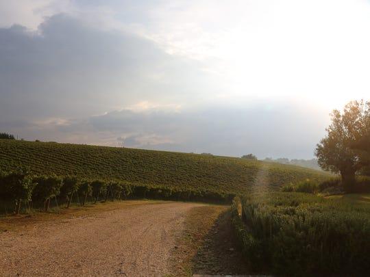 Montepulciano vineyards at Marramiero Winery in the