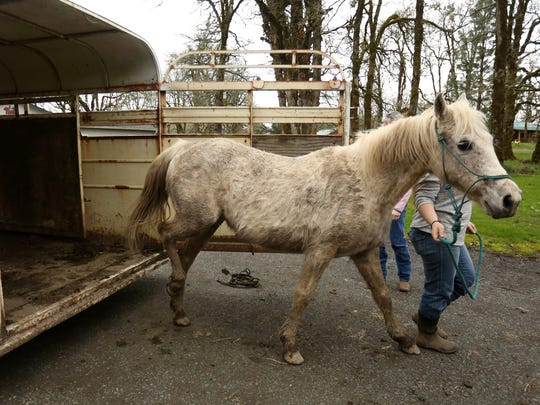 A gray mare is transferred to Mustangs and MOHR, a horse rescue nonprofit, outside of Dallas, Ore., on Tuesday, March 28, 2017. The rescue has taken in nine horses so far after an Independence woman was charged with 20 felony counts of animal neglect and two misdemeanor counts of neglect for horses goats and llamas on her property. She pleaded guilty to the two misdemeanor charges, and the remaining counts were dismissed.