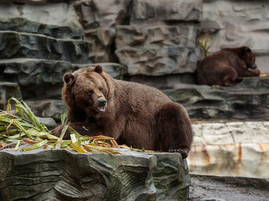 Thor, a 6-year-old grizzly bear, enjoys a stuffed pumpkin during Smashing Pumpkins at the Detroit Zoo in Royal Oak, Wednesday, Oct. 11, 2017.