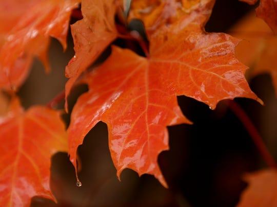 Rain drips from leaves in Salem on Thursday, Oct. 19,