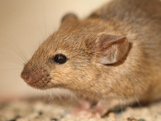 What to do if you end up with a rat in your toilet