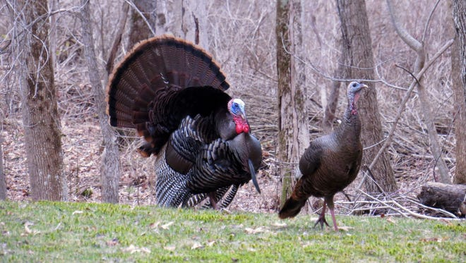 A tom turkey displaying for a hen.