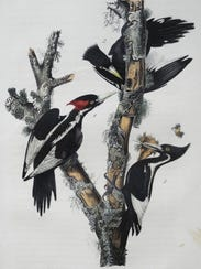 "A rarely seen ""Ivory Bill Woodpecker"" Royal Octavo"