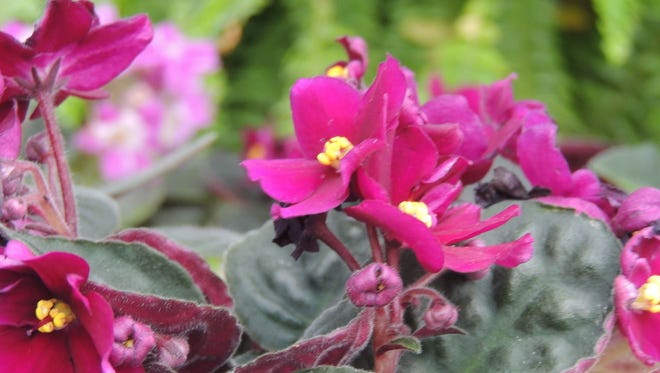 African violets, tiny ferns and other miniature plants and accessories for miniature gardens and terrariums make great gifts. Find a great assortment at Memorial Florists and Greenhouses, Appleton.