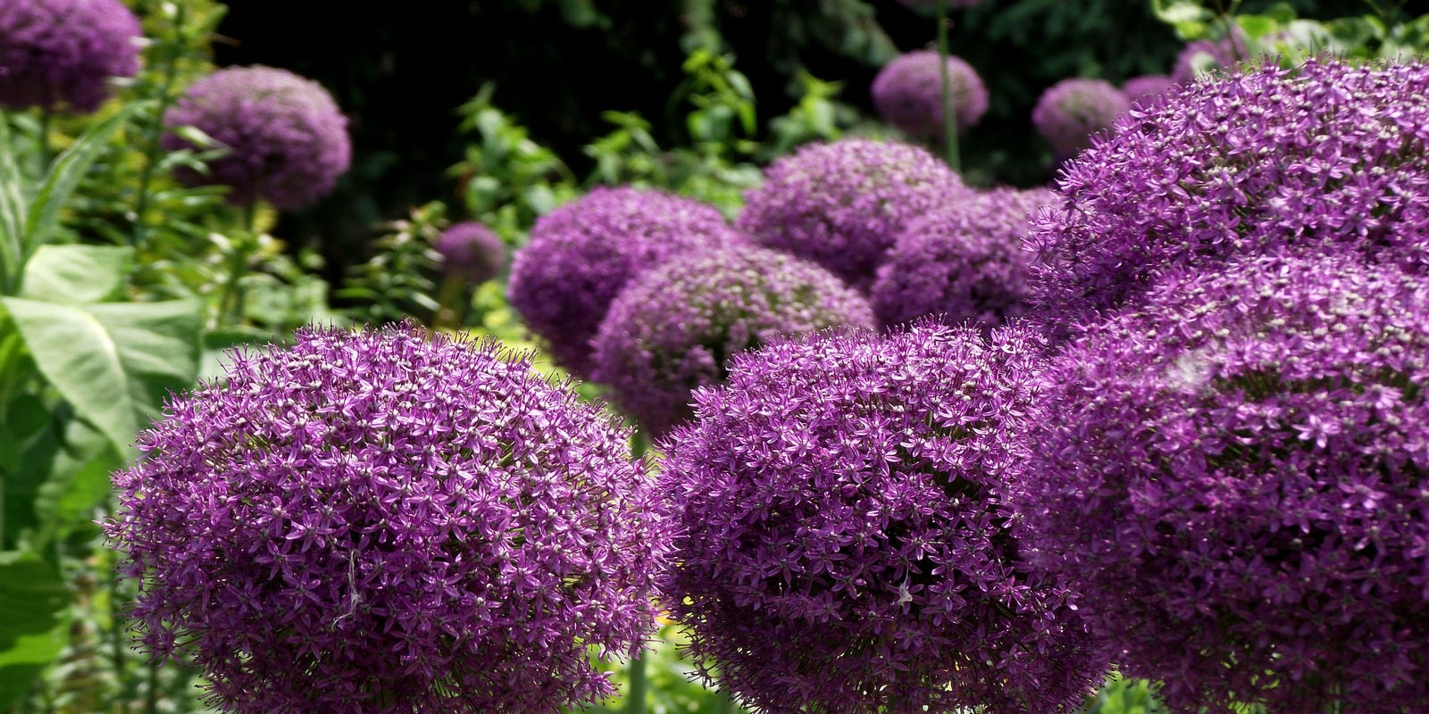 2016 Is Year Of The Allium