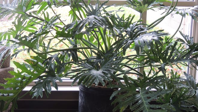 More and more gardeners are turning their attention to house plants for their capabilities in removing toxins and pollutants from the air inside the home.