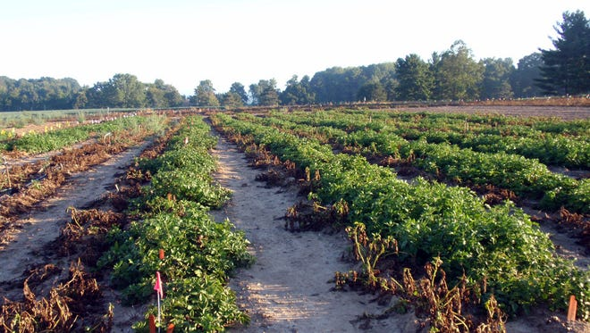 This 2013 photo taken at Michigan State University in East Lansing, MI, shows wilted conventional potato plants without resistance to the pathogen that caused the Irish potato famine (left) next to surviving rows of J.R. Simplot Co.'s genetically engineered potato plants that resist the disease.
