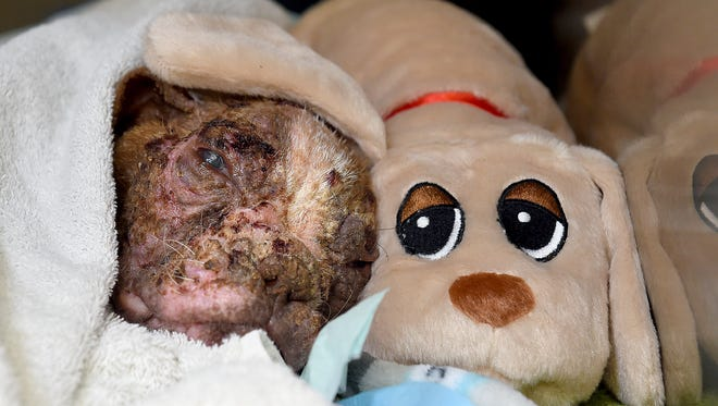 In this file photo, Libre, then 4-month-old Boston Terrier, rests with one of the stuffed animals that had been sent to the Dillsburg Veterinary Center for him. The puppy was found on a Lancaster County farm emaciated, with mange and secondary skin infections causing inflammation, lesions and hair loss throughout his entire body.