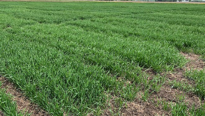 Winter wheat in the Uniform Variety Trial located in Sharon, Wisconsin in 2018.