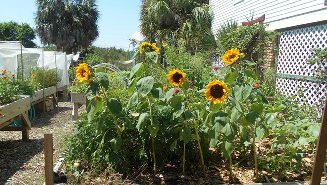 Sunflowers in the town's community garden.