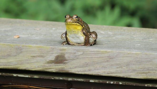 Close-up of an American bullfrog