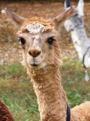 Molly, an alpaca at the Salisbury Zoo, died Friday of hypothermia following flooding at the zoo.