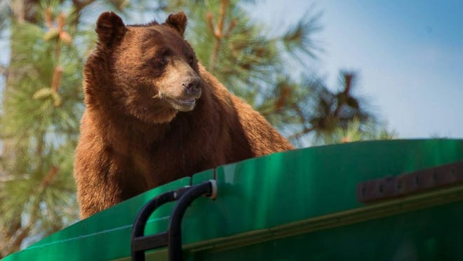 A cinnamon-colored black bear was spotted riding on top of a garbage truck.