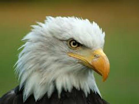 636022706853032402-bald-eagle.jpg