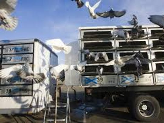 Pigeons fly from their cages after being released in a practice for a 2009 race.