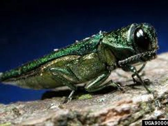 The emerald ash borer from Asia is decimating white