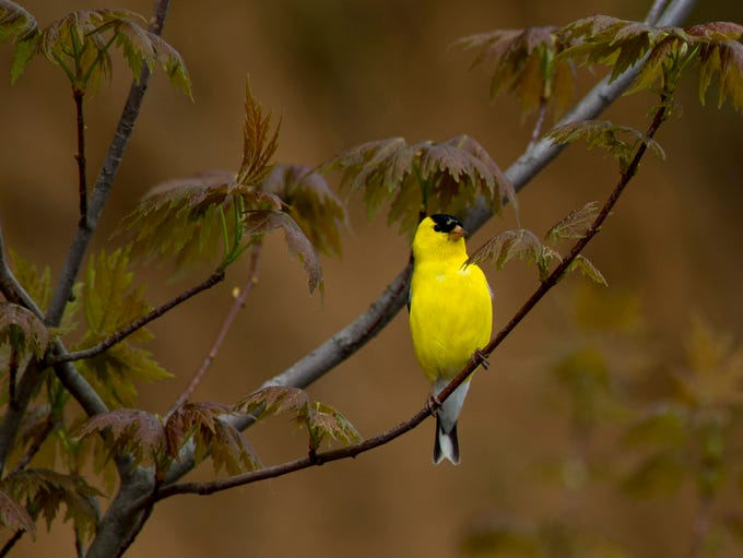 An American goldfinch perches on a maple branch in