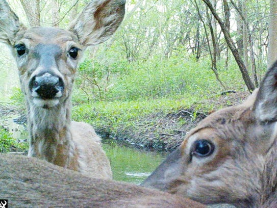 Two deer check out a trail camera along a creek in