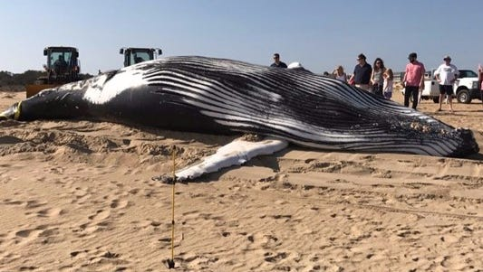 Whale washes up at the Virginia Beach Oceanfront on Feb. 12, 2017.
