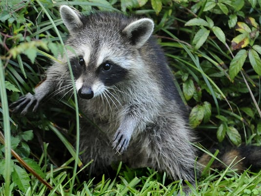 635793738444651161-raccoon