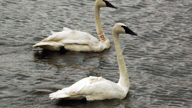Once common in Iowa, trumpeter swans had disappeared from the state by the late 1880s and became so scarce that by the 1930s, only 69 birds remained in the entire lower 48 states