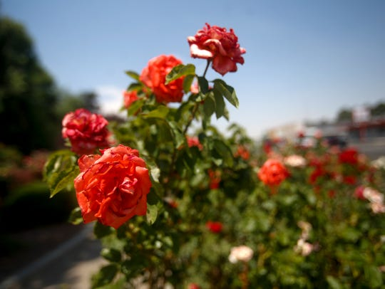 Roses soak in the sun Wednesday at the Pigford Rose Garden in Farmington. They may be seeing a bit less water under new watering restrictions.