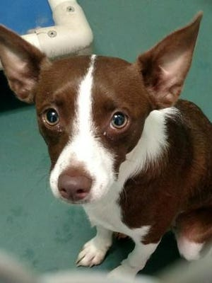 Cocoa is the Current-Argus pet of the day.