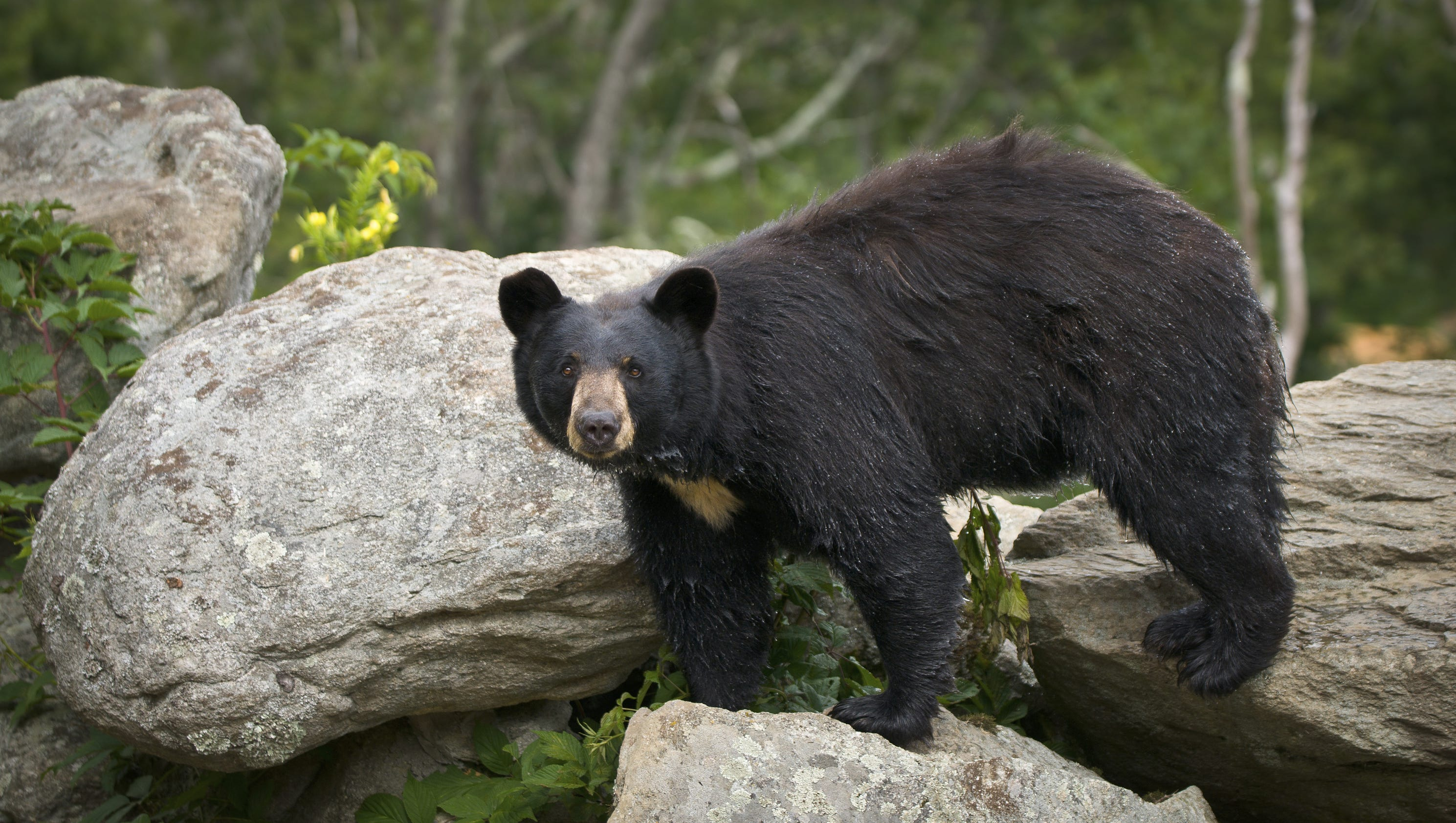 Black bears already on the move in WNC - photo#36