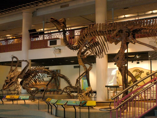 Chasmosaurus belli (left) and Corythosaurus casuarius in Dinosaur Hall at the Academy of Natural Sciences in Philadelphia, home to a new pop-up beer garden.