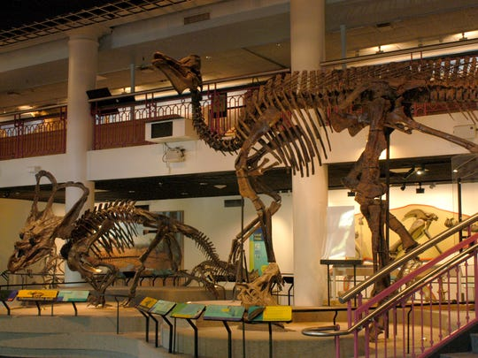 Chasmosaurus belli (left) and Corythosaurus casuarius in Dinosaur Hall.