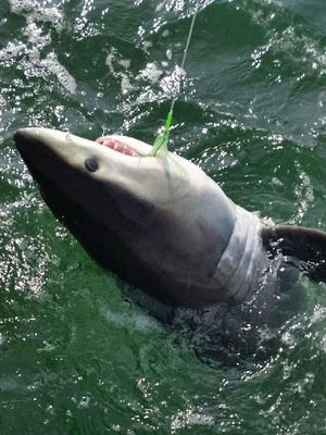 A great white shark pup that was caught and released July 11 by fishermen off Sandy Hook.