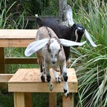 Photos: Two baby goats join the Brevard Zoo