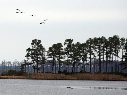 Canada geese prepare to land on Raymond Pond at Blackwater