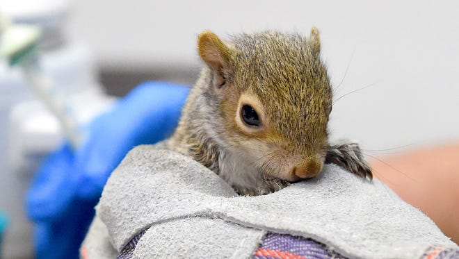 A young squirrel is held while the formula is warmed up during the first feeding time of the day in the intensive care unit at the Wildlife Center of Virginia.