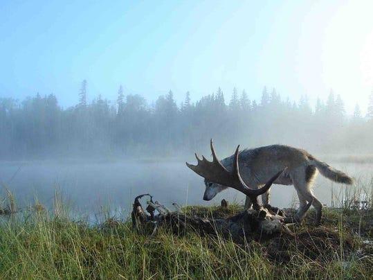 -wolf over moose carcass.jpg_20131014.jpg