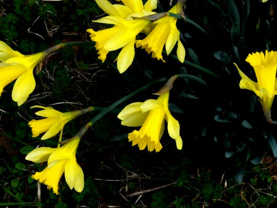 Fields of Daffodils will be part of the tour during
