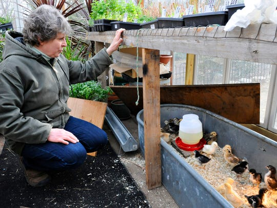 Terri Emmerich checks on her 10-day-old chicks she