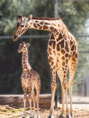 Austin, a reticulate giraffe, was born on Feb. 18, 2018. He now stands at over 6 feet tall.