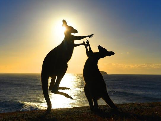 Eastern grey kangaroos fight on Emerald Beach in northern