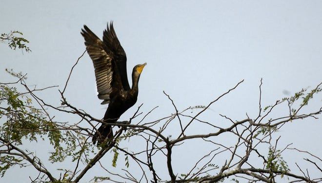 Double crested cormorant,-