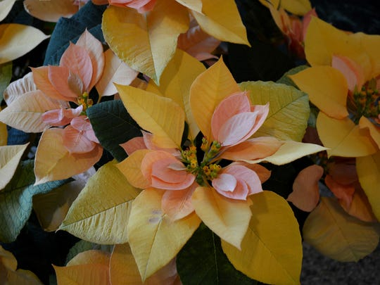 Poinsettia Autumn Leaves, with gold and peachy-pink bracts, is targeted for early sales.