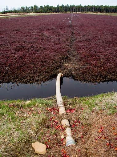 A pipe runs under the cranberry bed for the sprinkler system.