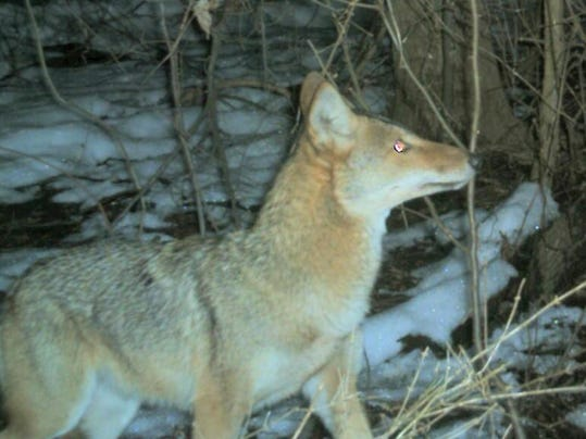 only 2 coyotes killed in delaware 39 s first seasons. Black Bedroom Furniture Sets. Home Design Ideas