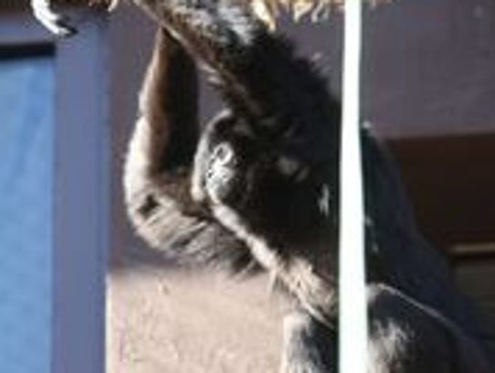 Zoo Knoxville white-handed gibbon Naomi became seriously
